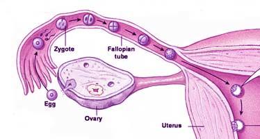 kan man blive gravid lige efter menstruation bedste dating